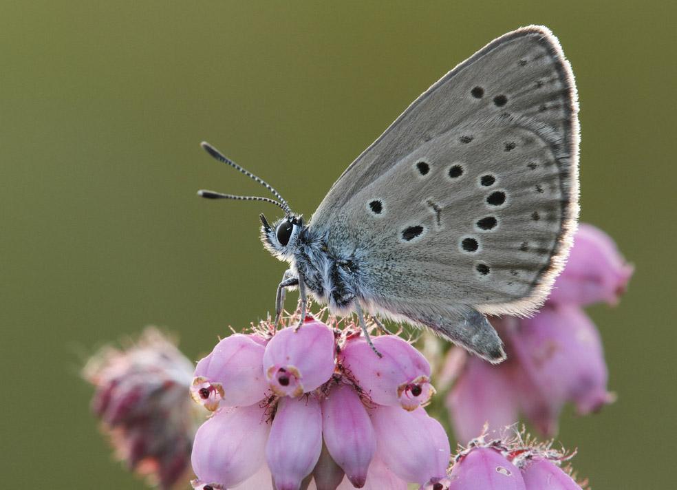 Бабочка Phengaris alcon